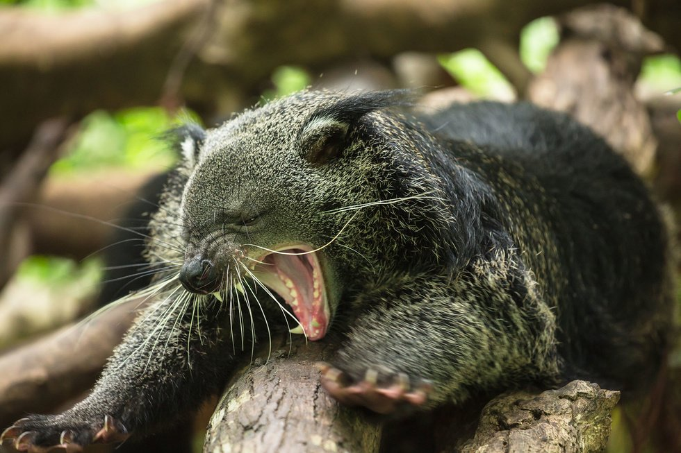 article/freek25_binturong.jpg